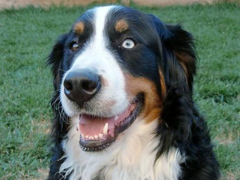 Zoey | RESCUE FOR BERNESE MOUNTAIN DOGS Bernese Mountain Dog Rescue
